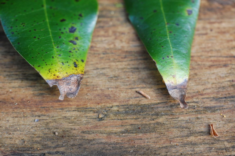 31. Tell-tale Signs of Bay Leaves Infected with Sudden Oak Death Pathogen