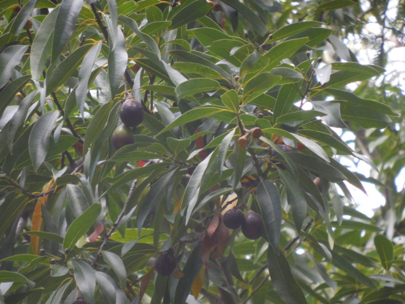 6. Bay Laurel Nuts on Tree
