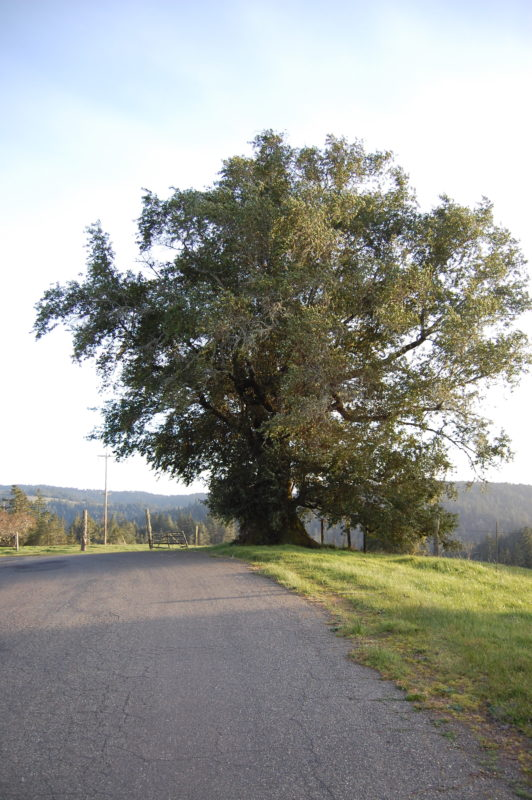 1. Magnificent Bay Tree on Tin Barn Road
