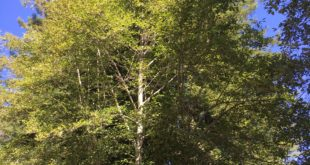 1. Mature Red Alders in Full Foliage