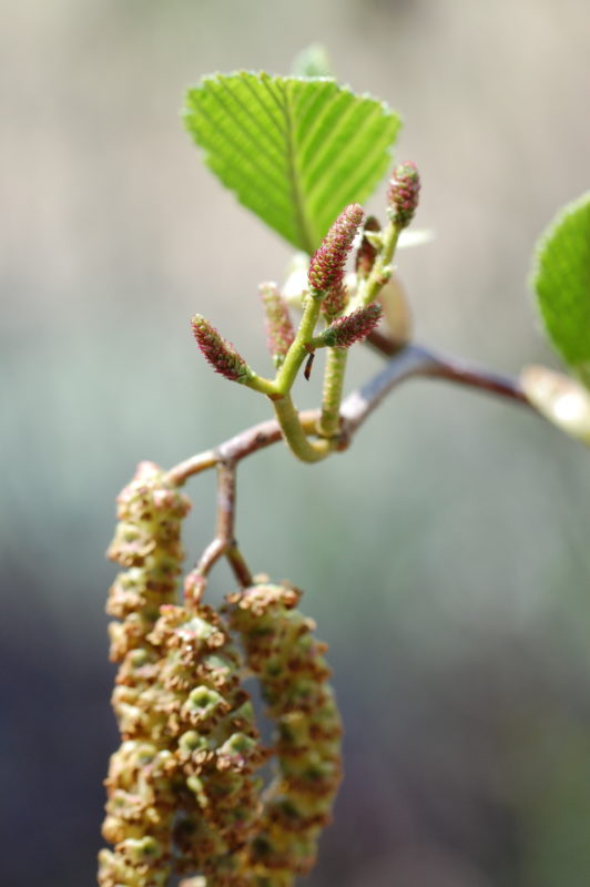 10. Male Catkins (Below), Female Catkins (Above)