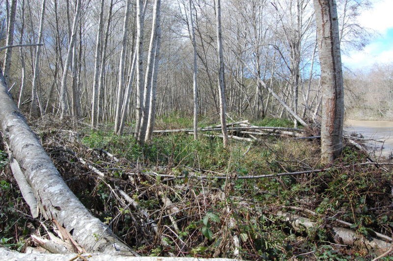 16. The Flood Plain Is A Wrecking Zone of Fallen Alders