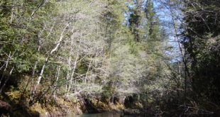 1a. White Alders Growing Along Buckeye Creek in the Soda Springs Reserve