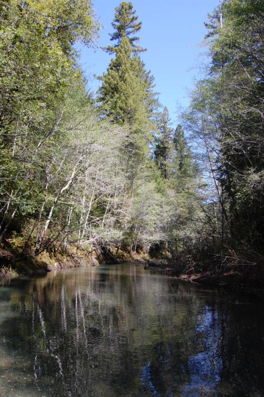 1a. White Alders Growing Along Buckeye Creek in the Soda Springs Reserve