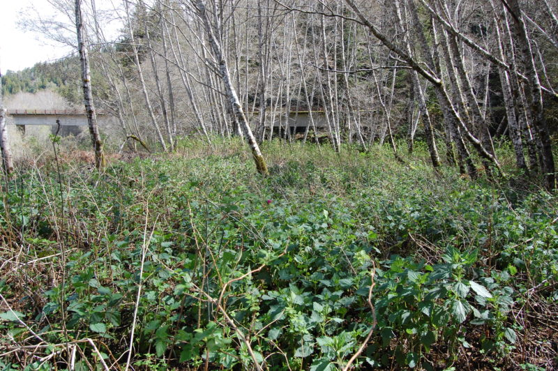22. Salmonberry, Blackberry, and Stinging Nettles Form a Thick Bramble Understory