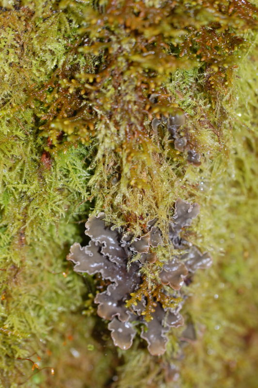 27. Mosses, Liverworts (above) and Dog Lichen (below) Thrive on Moist Alder Bark