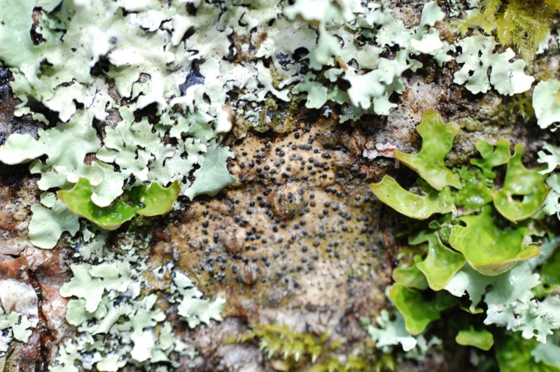 29. Leafy Lichens Surround the Black Fruiting Bodies of Western Pox Lichen