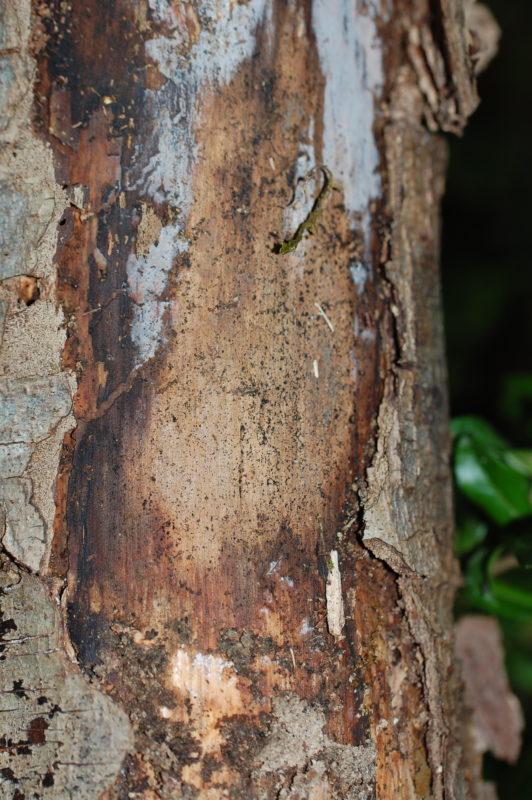 3. The Inner Bark of the White Alder is not Red