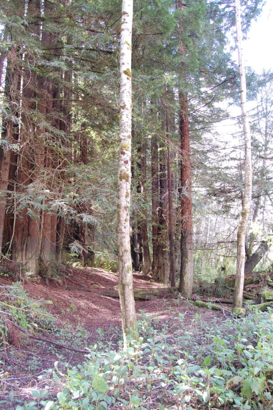 34. Transition Zone Where Alders Meet and Are Succeeded by Redwoods.