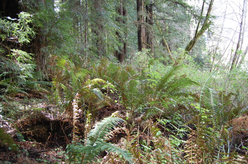 35. Sword Ferns Become the Dominant Vegetation Under Redwoods.