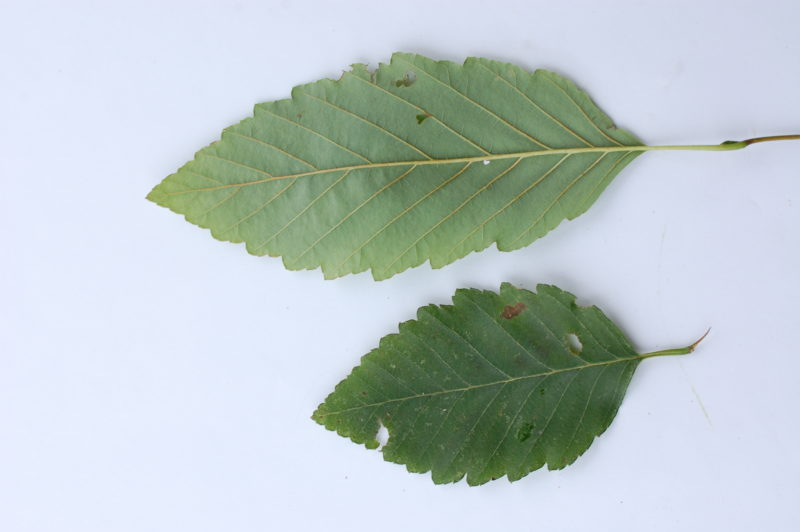 4. Red Alder Leaves Back (Upper) and Front (Lower)