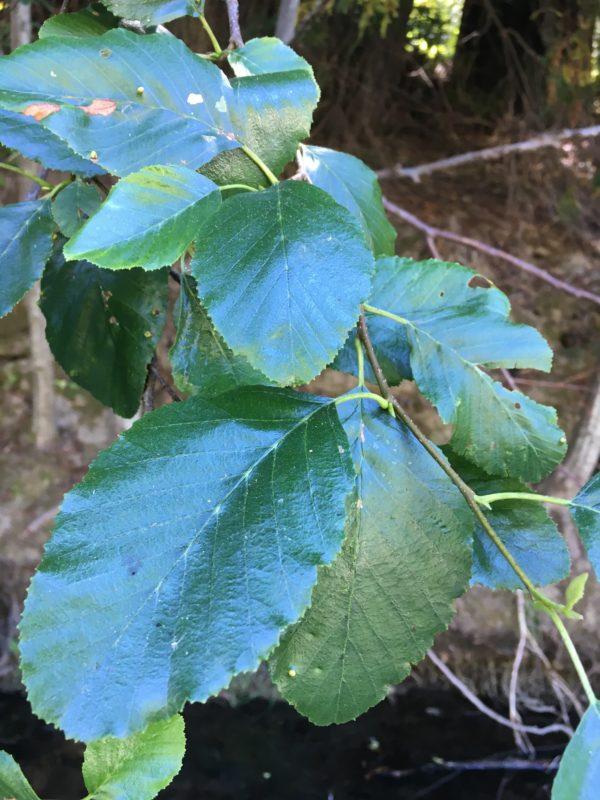 4. White Alder Leaves