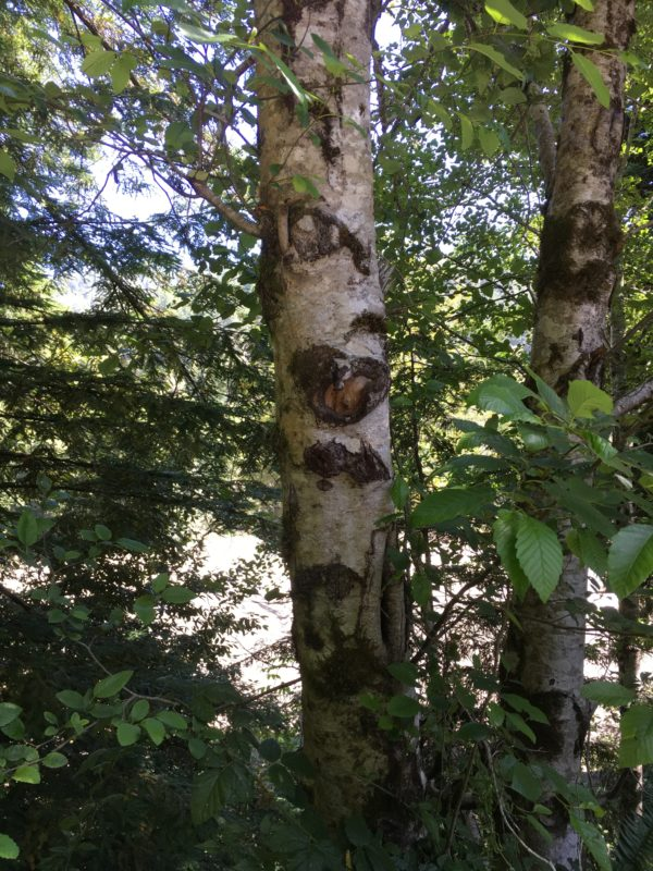 5. Red Alder Trunk and Bark