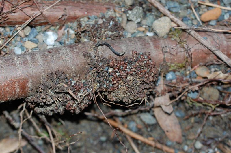 8. Root Nodules Formed by Frankia alni Fix Nitrogen in White Alders