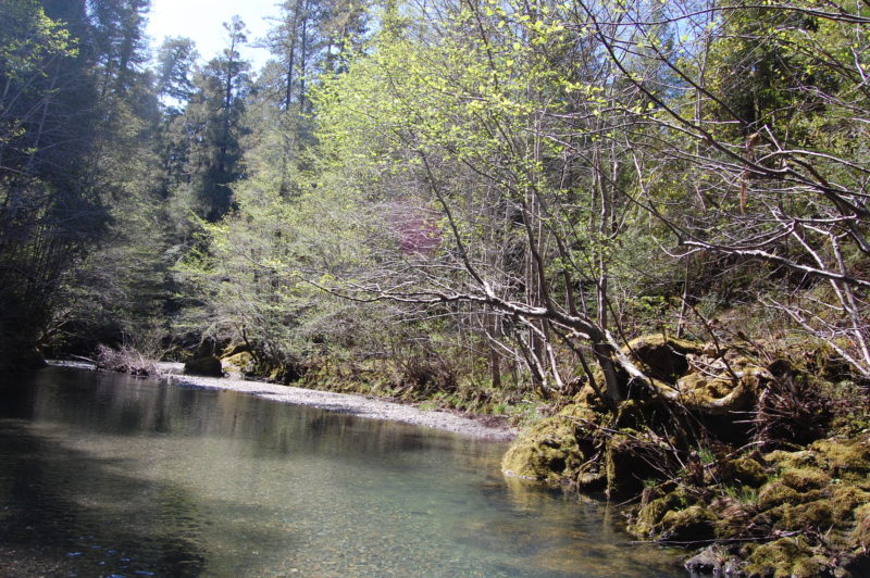 9. White Alders Occupy a Narrow Portion of the Buckeye Creek Bank Where Redwoods Crowd Them