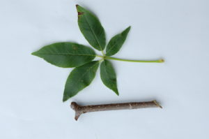 4. Buckeye Leaf and Twig