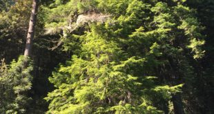 1. A Young Western Hemlock (Center) Along the Main Stem of the Gualala