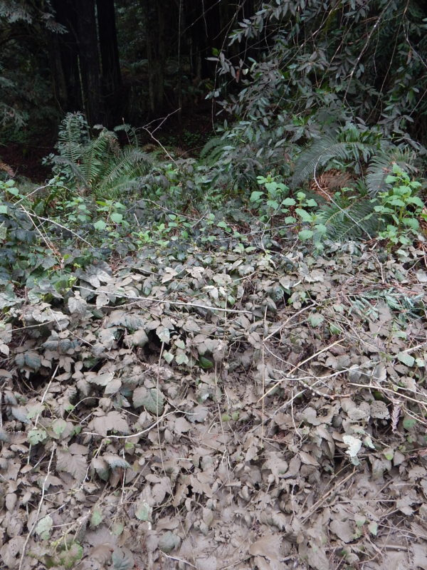 Silt deposits on riparian thicket blackberry, Feb 2019