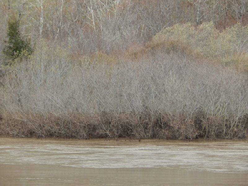 Silt film high water line in willows at Valley Crossing, Feb 2019