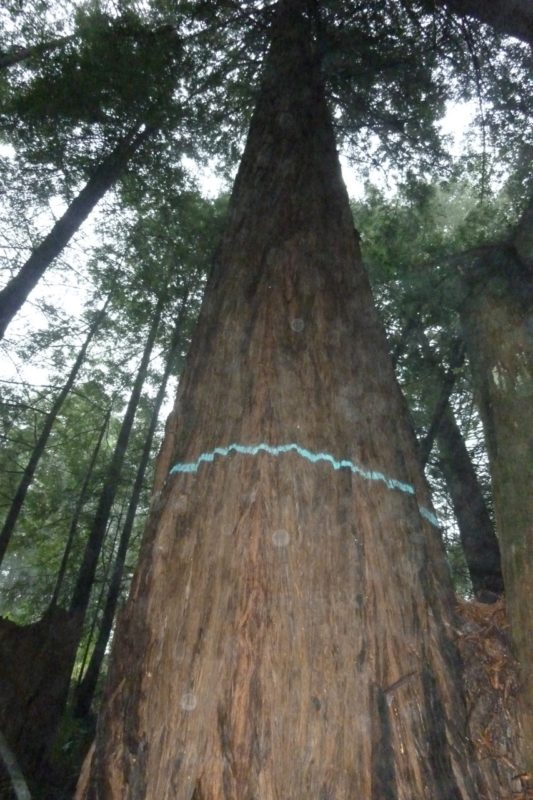 One of the redwood trees marked for logging in the disputed Dogwood timber harvest plan. Photo by Chris Poehlmann.