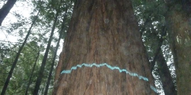 Redwood tree marked for logging in Dogwood THP, photo by Chris Poehlmann