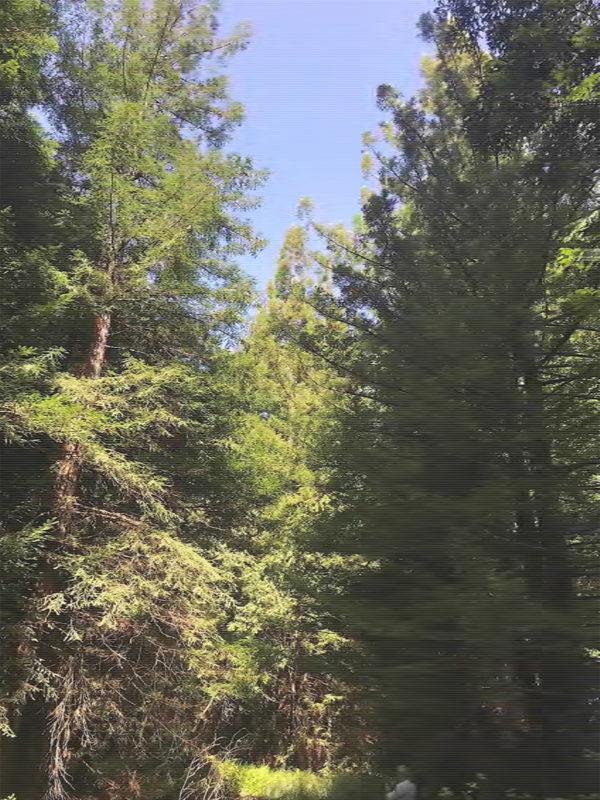 DellaSala-Exhibit-4-Large-Trees-in-Dogwood-Area