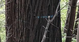 DellaSala-Exhibit-5A-Large-Trees-in-Dogwood-Unit-1