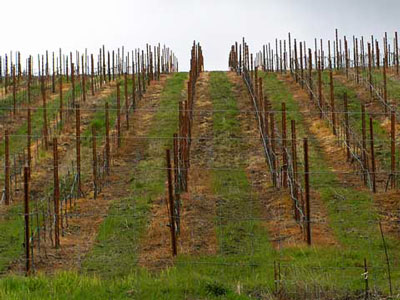 new vineyard sprayed with herbicide