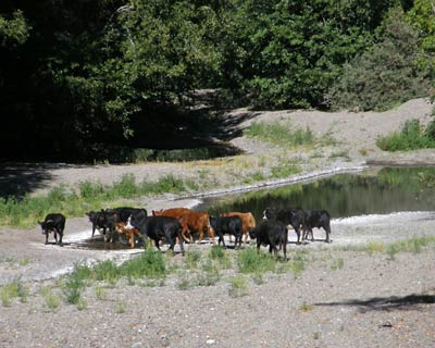 Cattle on the Wheatfield Fork Gualala River, September 2008
