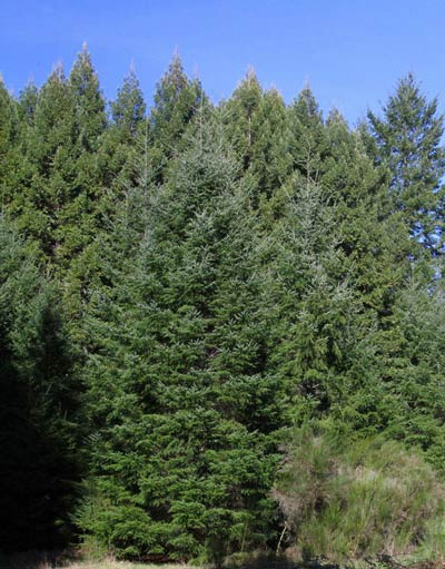 Redwood & Doug fir forest on Artesa Vineyards & Winery's Fairfax property in Annapolis, CA