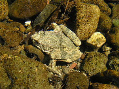 Adult Foothill yellow-legged frog, photo by Peter Baye
