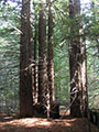 Redwood forest slated for destruction by Artesa Vineyards and Winery