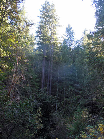 View of Artesa's property in northwestern Sonoma County: Forest, or not a forest?