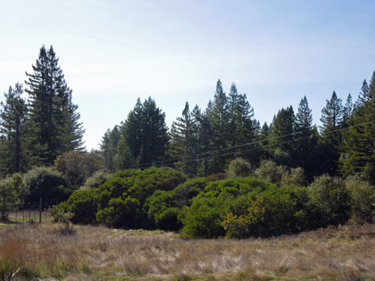 Redwood, manzanita and meadows at the fenced east end of the Artesa-Sonoma property in Annapolis, 2012, viewed from public road access