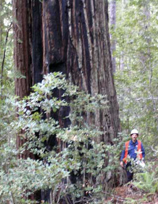 Old growth redwood above Little North Fork Gualala River