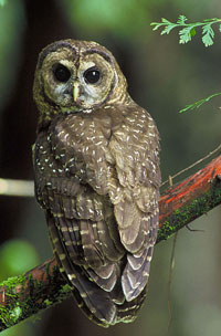 northern spotted owl, photo credit: US Fish and Wildlife Service