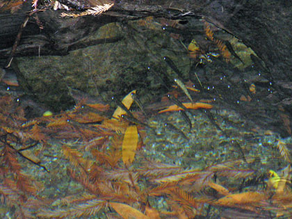 Steelhead juveniles, photo by Peter Baye
