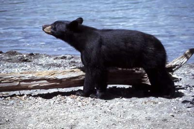 black bear; Harlan Kredit, National Park Service