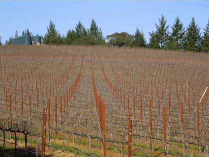 The Artesa-Sonoma project would convert ancient Pomo redwood forest, meadow, and manzanita groves into a permanent clear-cut biological desert of industrial agriculture, with water-demanding, herbicide-'mowed' vineyard rows like this one